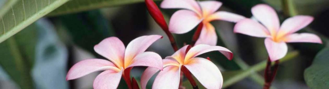 cropped-Frangipani-Flowers.jpg